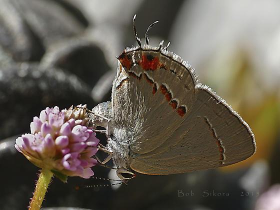 Strymon melinus ovipositing - Strymon melinus - female