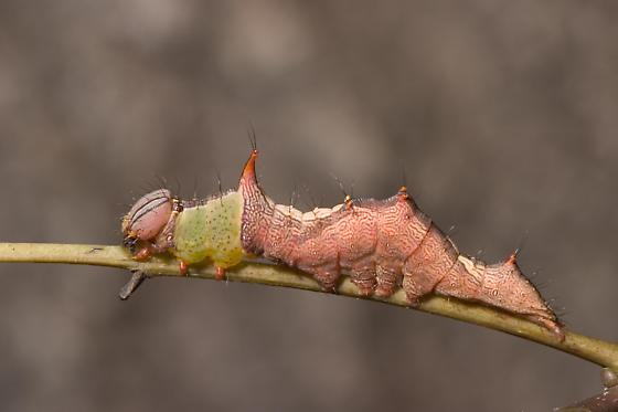 Caterpillar - Schizura ipomaeae