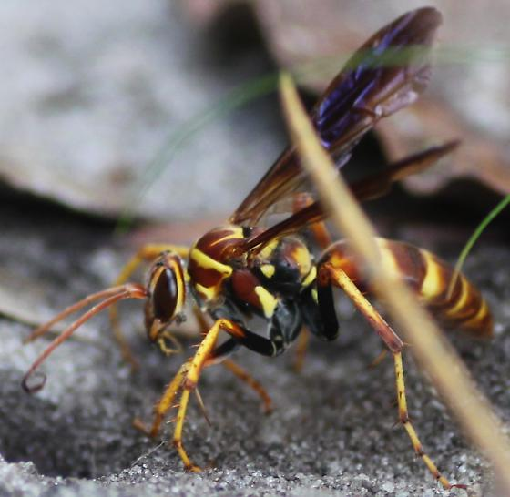 Sand Wasp? - Poecilopompilus - female