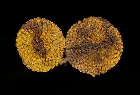 Anthribidae on Sneezeweed - Trigonorhinus limbatus