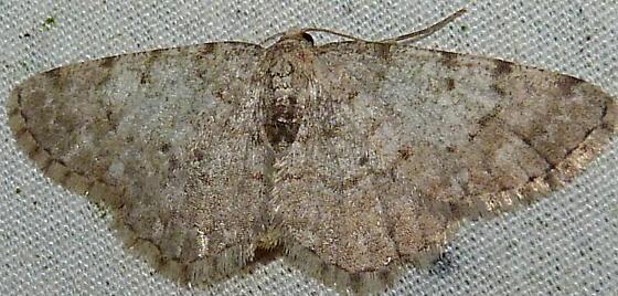 2/27/19 moth - Aethalura intertexta