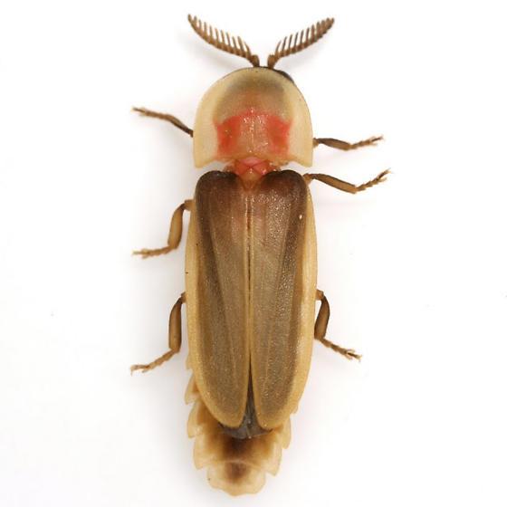 Pleotomus pallens LeConte - Pleotomus pallens - male
