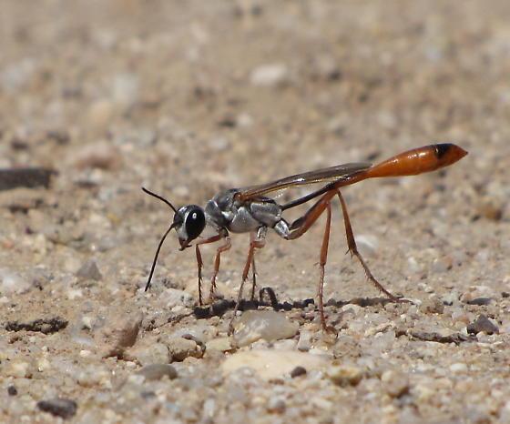 Thread-waisted wasp. - Ammophila aberti - female