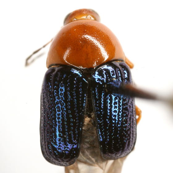 Cryptocephalus arizonensis Schaeffer - Cryptocephalus arizonensis