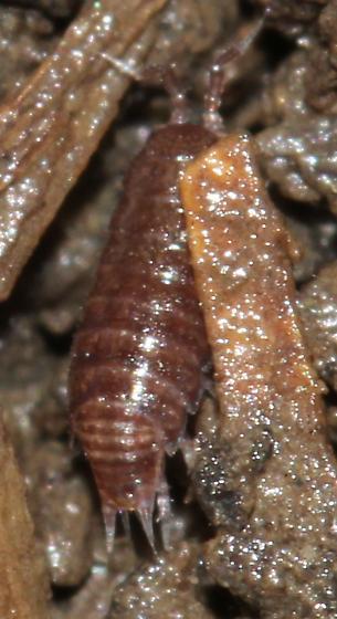 Trichoniscidae