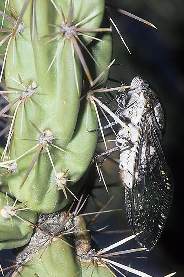 Cactus Dodger - Cacama valvata