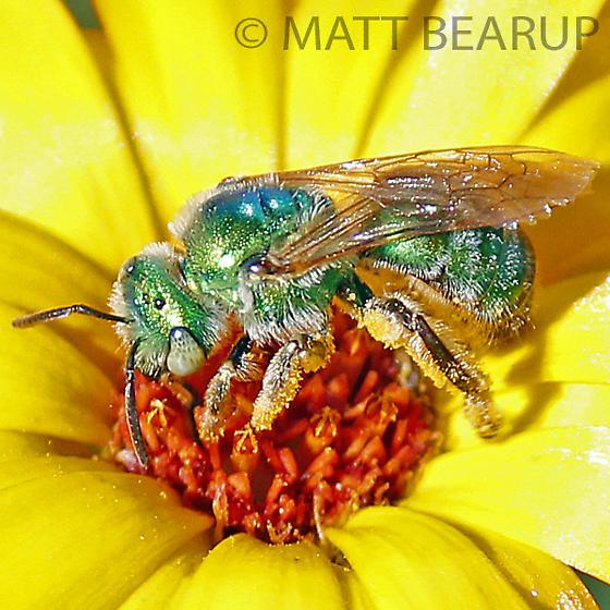 Female Green Bee - Agapostemon - female