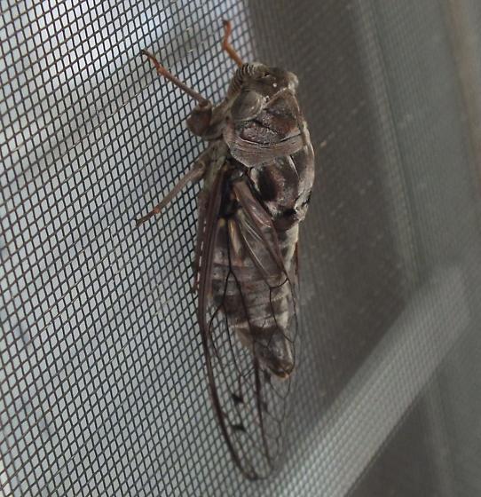 Cicada sp. What species? - Megatibicen figuratus