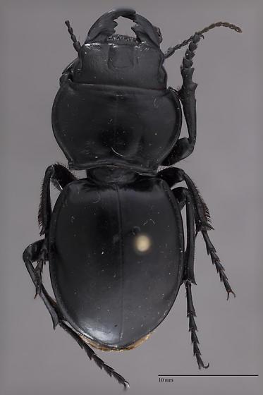 Carabidae Pasimachus? - Pasimachus californicus