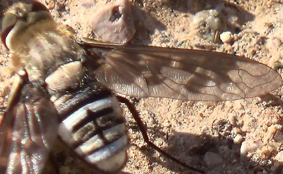 Bee Fly Wing Patterns - Exoprosopa divisa - female