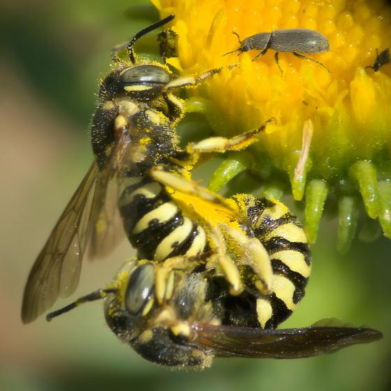 Bees - Dianthidium - male - female