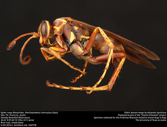 Spider wasp (Pompilidae, Poecilopompilus interruptus (Say)) - Poecilopompilus interruptus - female