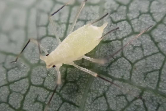 Capitophorus elaeagni? - Illinoia liriodendri