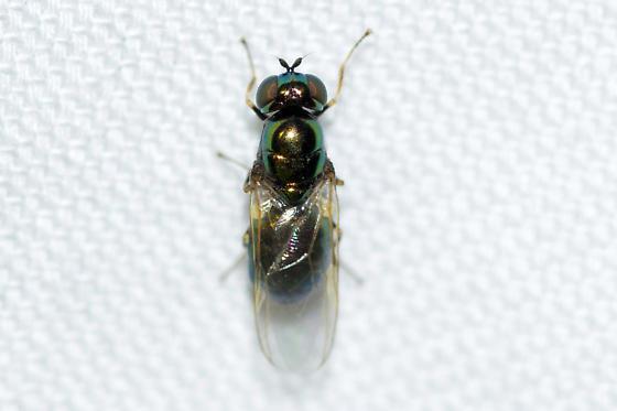 Microchrysa  - Microchrysa