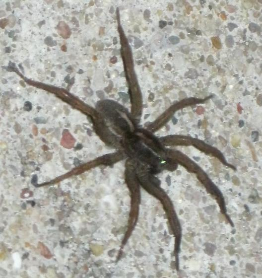 Michigan Wolf Spider Trochosa Bugguidenet