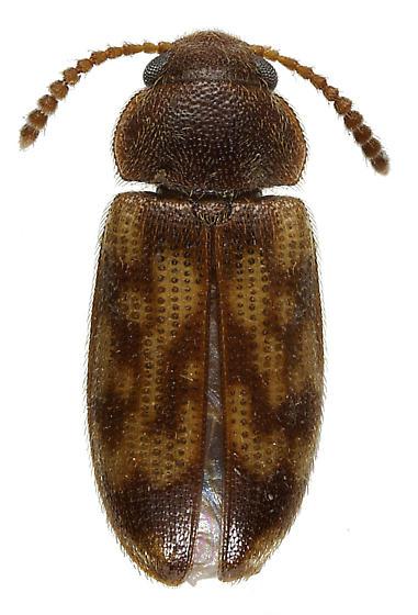 Mycetophagidae - Mycetophagus pluripunctatus