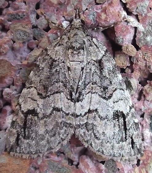 Geometridae: Hydriomena ruberata? - Hydriomena
