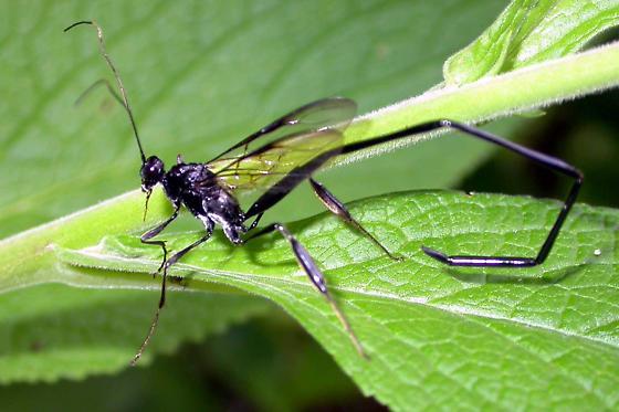 pelecinid wasp? - Pelecinus polyturator - female
