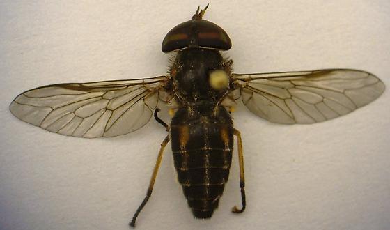 Horse Fly - Tabanus lineola
