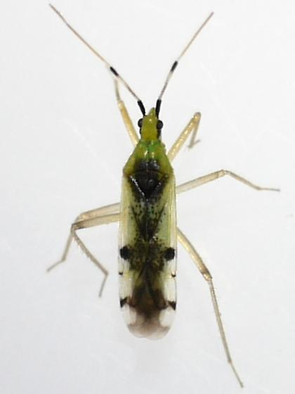 plant bug - Macrolophus brevicornis