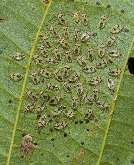 Basswood lace bugs - Gargaphia tiliae