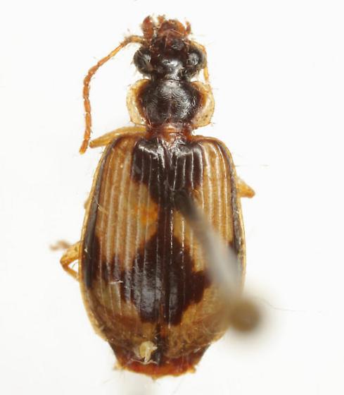 Lebia fuscata Dejean - Lebia fuscata