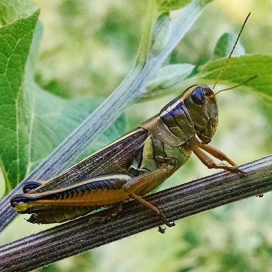 Acrididae: Melanoplus bivittatus? - Melanoplus bivittatus - female
