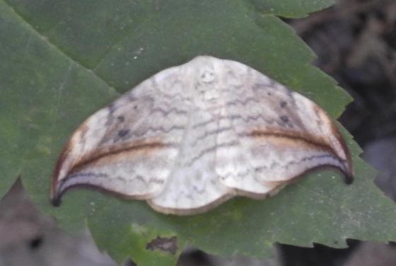 Moth, sorry for poor quality image - Drepana arcuata