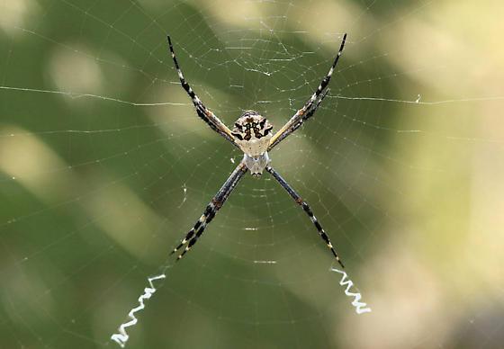 Silver Argiope - Argiope argentata - female
