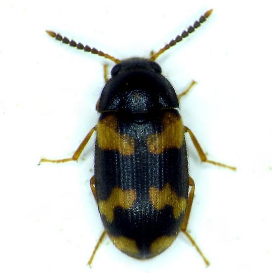 Beetle - Mycetophagus serrulatus
