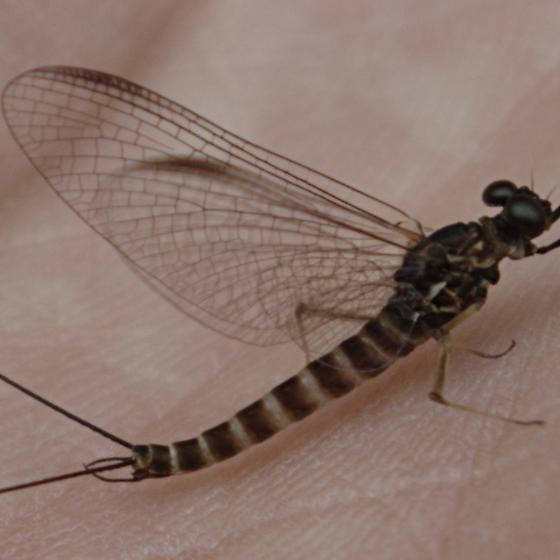 Mayfly - Siphlonurus occidentalis