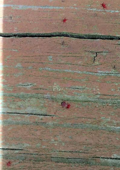 red bugs on old wood fence balaustium bugguide net. Black Bedroom Furniture Sets. Home Design Ideas