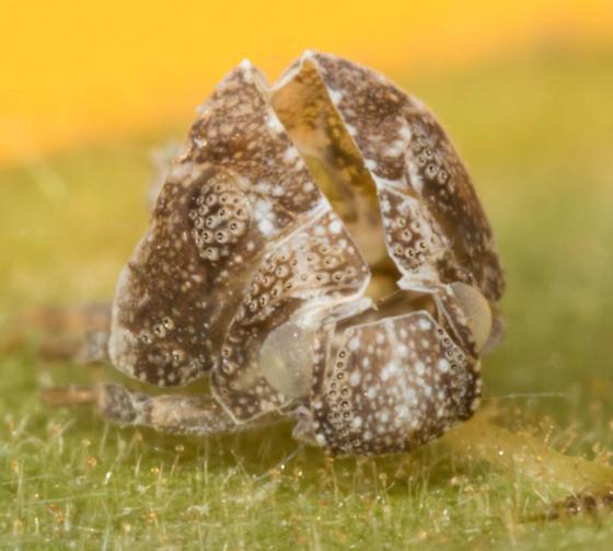Walnut bug - Acanalonia