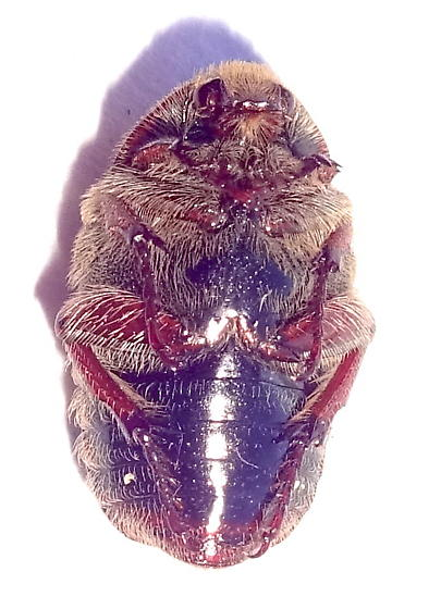 Hairy red beetle - Euphoria leucographa