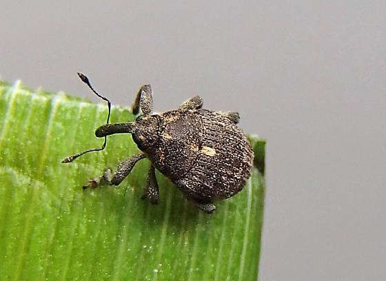 Rhinoncus pericarpius? - Glocianus punctiger