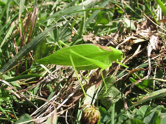 Tettigoniidae - Amblycorypha - male