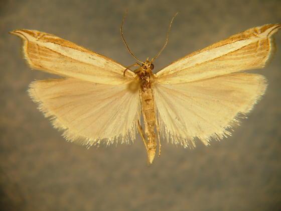 Fernandocrambus harpipterus