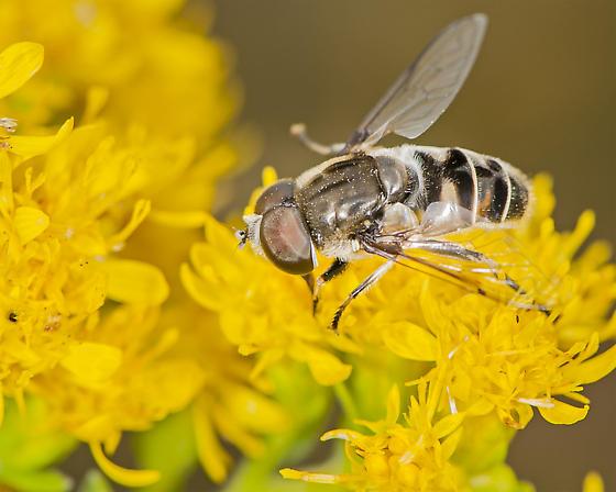 Unknown insect - Eristalis dimidiata