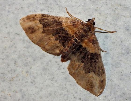 Moth 05-14 4000 - Xanthorhoe ferrugata