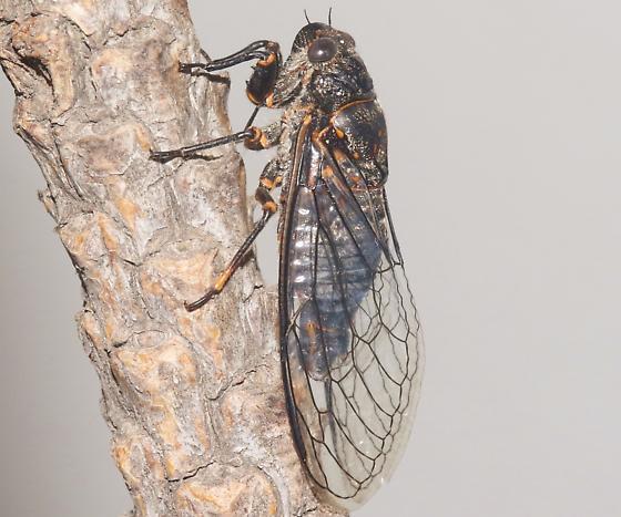 Okanagana ferrugomaculata - Okanagana - male