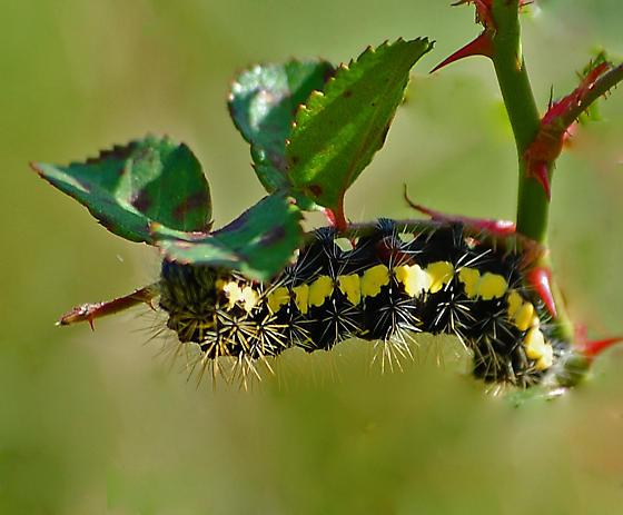 Black And Yellow Hairy Caterpillar Acronicta Oblinita Bugguide Net