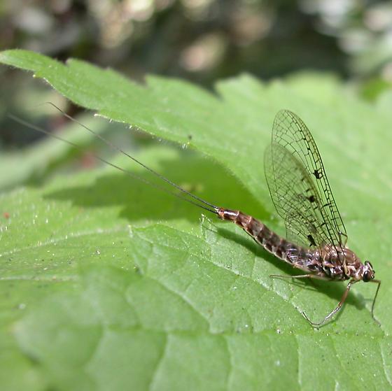 redwood forest mayfly - Siphlonurus spectabilis