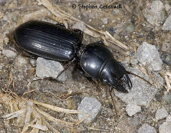Why did the Scarites Cross the Road? - Scarites subterraneus