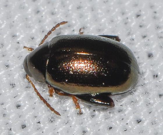 beetle041419a - Psylliodes