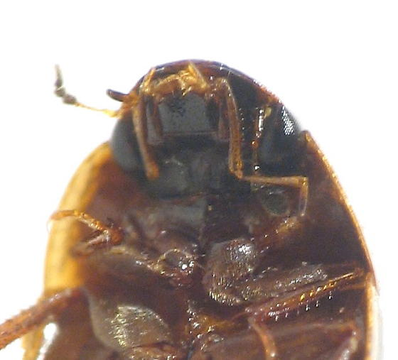 smaller Hydrophilidae - Enochrus