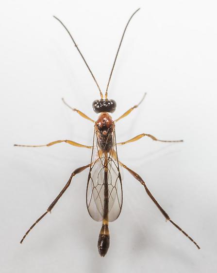 Wasp - Anomalon - male