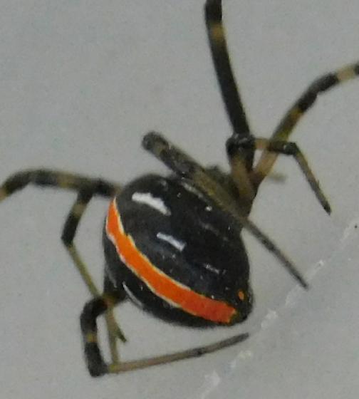 Latrodectus hesperus  - Latrodectus hesperus - female