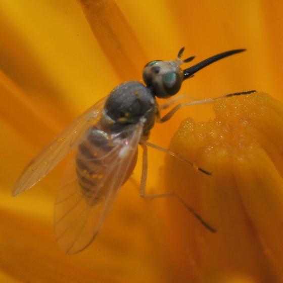 Hawkweed mountaineer fly - Tmemophlebia - female