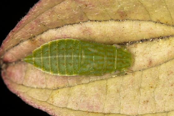 hemiptera - Gyponana