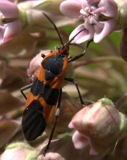 Milkweed Bug [=Oncopeltus fasciatus?] ID Request - Oncopeltus fasciatus
